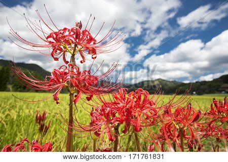 Close up lined red spider lily flowers under sky with clouds
