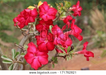 Many flowering azalea red flowers in the garden.