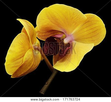 Orchid orange-yellow flower. Isolated on black background with clipping path. Closeup. The branch of orchids. Nature.
