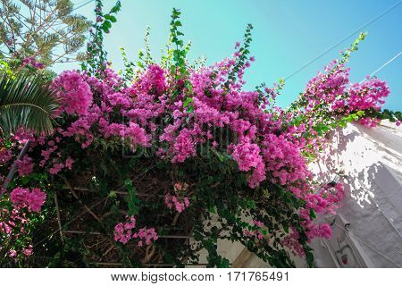 Bougainvillea pink on a balcony of a house in Santorini.