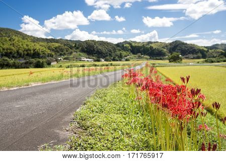 Red spider lily flowers beside farm road