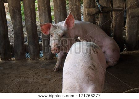 Many white pig on a farm in Thailand.