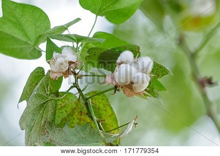 Cotton Plant Outdoor Farm Thailand (cotton flower)
