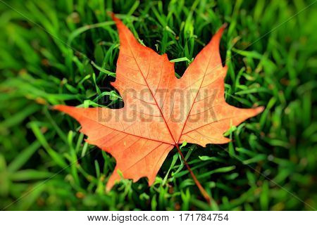 Autumn Yellow Leaf On A Grass, Very Shallow Focus.