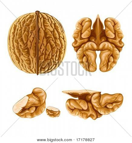 walnut nut with shell- vector illustration, isolated on white background