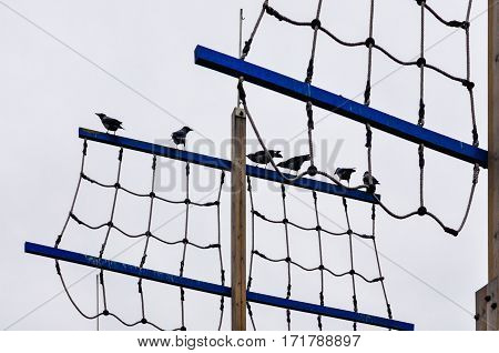 Group Of Crows Perching In Line