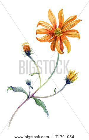 Watercolor orange daisies branch with leaves. Hand drawn illustration. Isolated on white background. Painting. Realism.