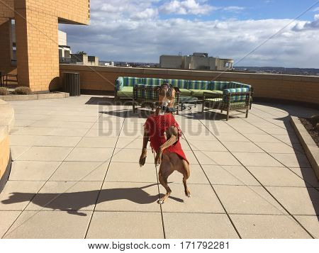 Boxer Dog Plays Fetch - Facing Forward