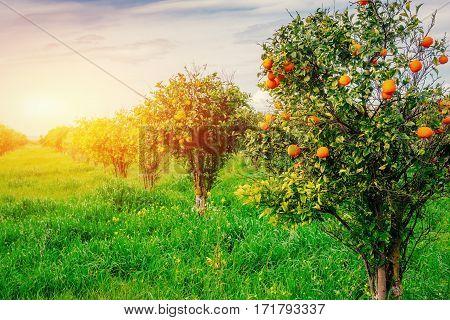 branch orange tree. Beauty world Sicily Italy Europe