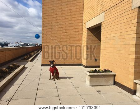 Boxer Dog On An Urban Lanscape