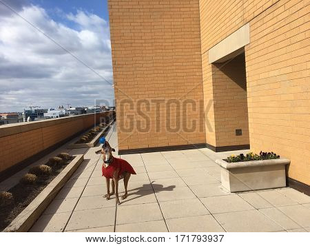 Boxer Dog In Red Sweater