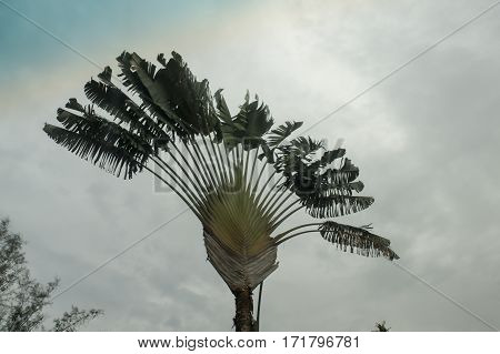 Fan Lone Palm Tree On The Background Of Grey Sky