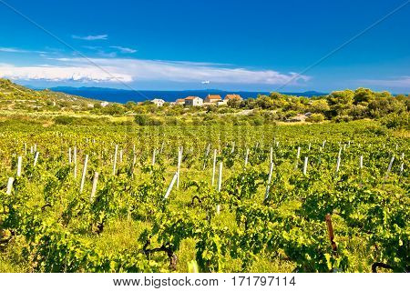 Island Of Vis Vineyards Panorama