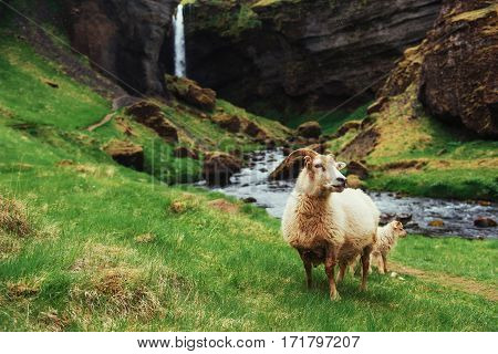 The Icelandic sheep. Beautiful mountain stream flowing in the background. Beauty world