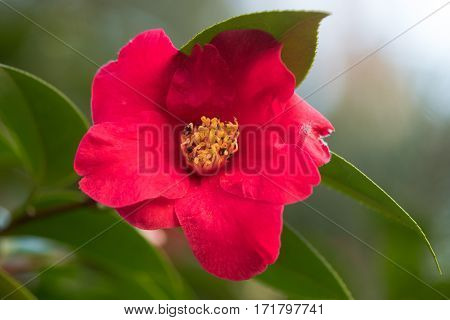 Camellia japonica dark pink flower with yellow stamens. Single flower with regular petals with prominent display of stamens and pistils. Flowering in Bute Park Cardiff