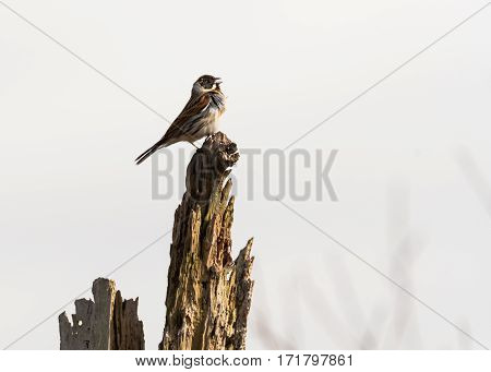 Reed bunting (Emberiza schoeniclus) male singing from post. A wetland bird in the family Emberizidae with feathers blowing in wind and beak open