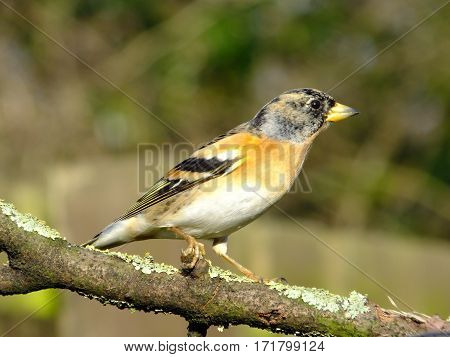 Brambling perched on an old lichen covered branch