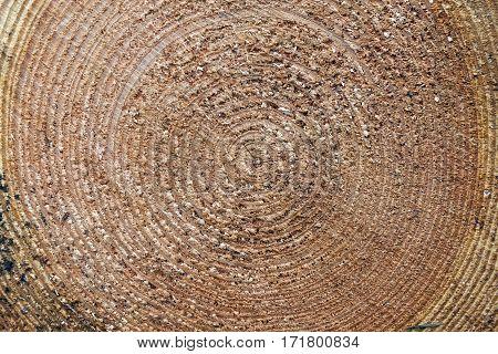closeup of rings of cut spruce tree trunk