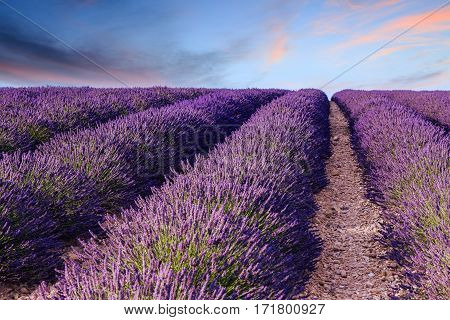 Lavender Field Summer Sunset Landscape Near Valensole