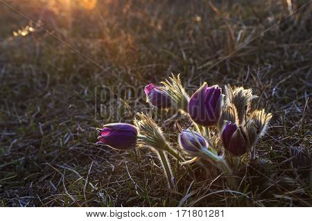 Beautifully blossoming pasque flower with natural background light.