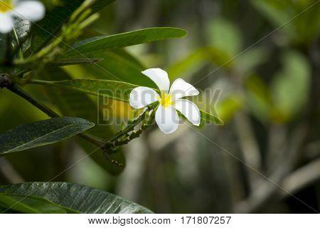 An image of a pink frangipani flower
