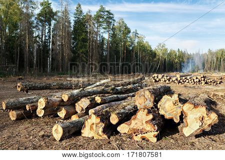 Sanitary felling of trees infected by eight-toothed bark beetle (Ips typographus) in the forest neart city Balashikha in Moscow region, Russia.