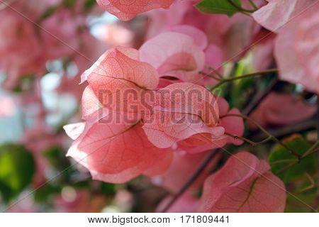 Træ med smukke lyserøde blade der er ved at springe ud