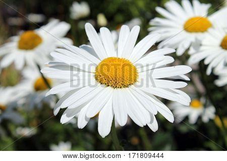 Mange hvide blomster på en fin sommer dag i juli