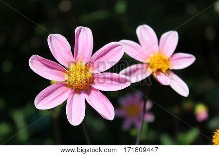 Lyserød blomst i biohantisk have på en sommer dag