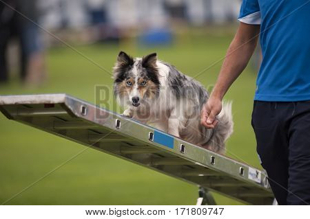 A handler man showing his dog how correctly find a balance on agility swing.
