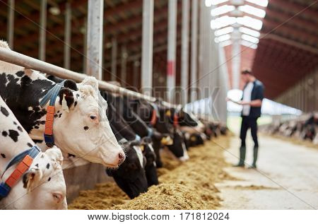 agriculture industry, farming and animal husbandry concept - herd of cows eating hay and man in cowshed on dairy farm