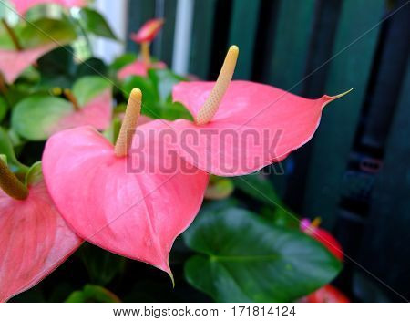 Anthurium flower pink color. Blossoming plant of Anthurium/Flamingo flowers.