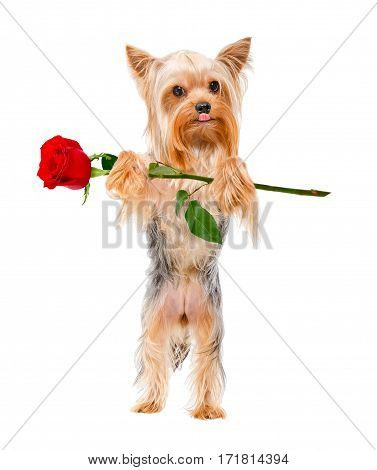 Yorkshire Terrier with a rose, standing on its hind legs, isolated on white background