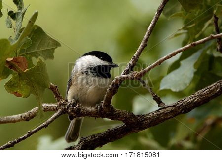 Close-up of a black-capped chickadee, perched on a tree branch with green leaves and a green blurred background.