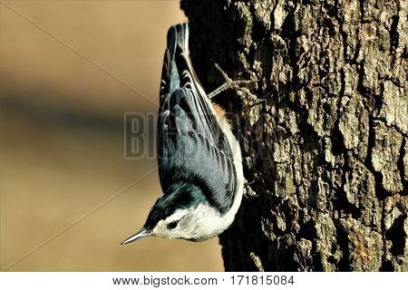 Close-up of  a white-breasted nuthatch bird, as it stands on the trunk of a tree, on a light brown blurred background.