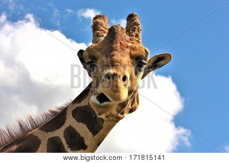 Head and neck of a giraffe as he makes a funny face. On a blue sky and puffy clouds background.