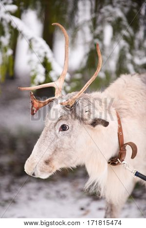portrait of a deer on a background of trees in the winter reindeer in the forest