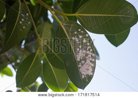Mealybug on leaf figs. Plant insect infestation Ficus elastica
