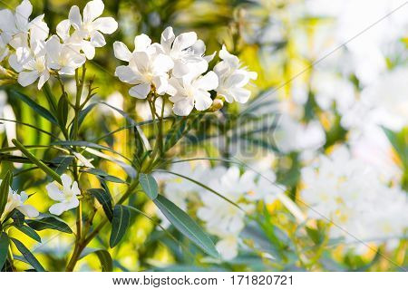 white oleander flowers, spring or summer holiday background