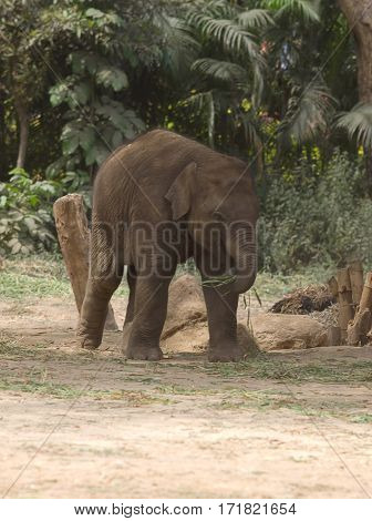 photo of a playful young Asian elephant