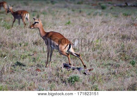 Impala squatting in the savannah of West Tsavo Park in Kenya
