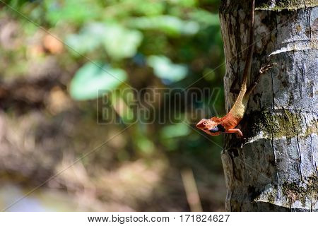 Thai chameleon on coconut tree isolated on blure nature background