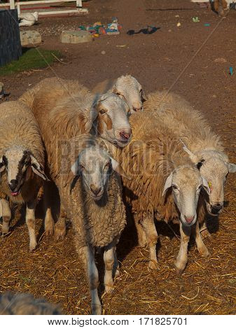 Herd of sheep Walking in farm animals.