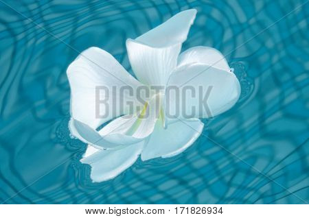 Plumeria (Frangipani) flower in blue waters of the swimming pool, underwater shot, Panglao, Philippines