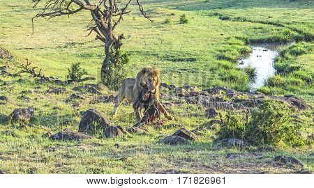 Lion With Prey In Masai Mara National Park.