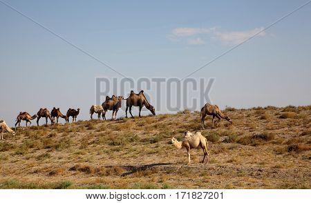 camel caravan in the desert asia kazakhstan