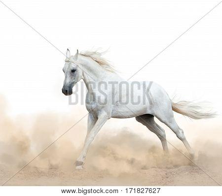 white arabian stallion running in the dust over a white background