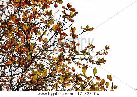 Terminalia catappa leaves autumn season on white background. bengal almond Indian almond.