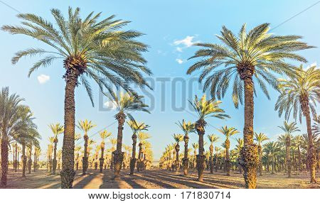 Sunset in plantation of date palms. Date palms have an important place in advanced desert agriculture in the Middle East