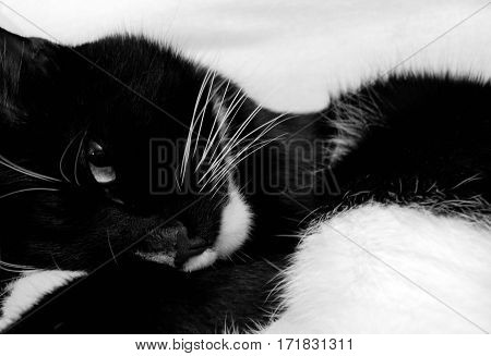 Black and white photo. Black and white cat is curled up and is looking with one eye.